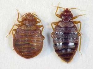 https://stendanson.files.wordpress.com/2011/02/bed-bugs.jpg?w=300